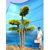 金叶榆造型树/庭院景观树/室内风景树/树木造型