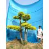衡水德润景观 金叶榆造型树/景观造型树/树的造型设计